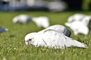 Tomislav Vucic - Corella Eating Grass...