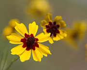 Kathy Clark - Coreopsis tinctoria -...