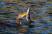 Cormorant And Its Meal Print by Andres Leon