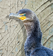 Cormorant Framed Prints - Cormorant By Cracked Paint Framed Print by Bill Tiepelman