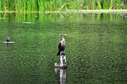 Double Image Posters - Cormorant Chilling Poster by Al Powell Photography USA