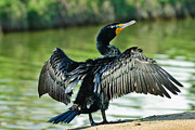 Orange And Black Birds Posters - Cormorant Drying Wings Poster by Bob Johnston