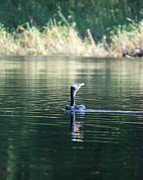 Phalacrocorax Auritus Photos - Cormorant Fishing by Neal  Eslinger