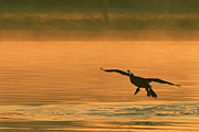 La Porte Framed Prints - Cormorant Landing at Sunrise Framed Print by Paul Wolf
