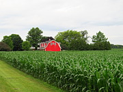 Cornfield Photos - Corn And Red Barn by Tina M Wenger