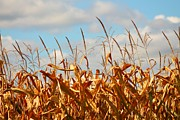 Cornfield Photos - Corn as high as the Sky by Rhonda Humphreys