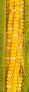 Corn Photos - Corn Cob Silk by Steve Gadomski