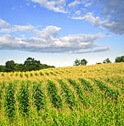 Crops Photos - Corn field by Elena Elisseeva