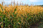 Rural Scenes Prints - Corn Harvest Print by Terri Gostola