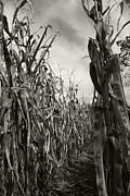 Linda Knorr Shafer - Corn Maze - sepia