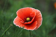 All - Corn Poppy  by Kathy Gibbons