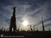 Stalk Originals - Corn Stalk Sunset  by Josh Sullivan