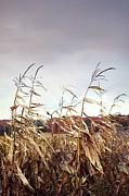 Sandra Cunningham - Corn stalks blowing in the wind