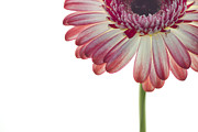 Daisy Metal Prints - Cornered Gerber Metal Print by Rebecca Cozart