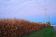 Cornstalks Prints - Cornfield in Autumn Print by Pamela Briggs-Luther