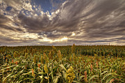 Cornfield Photos - Cornfield Sunset  by Saija  Lehtonen