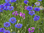 Phlox Framed Prints - Cornflower Centaurea Cyanus And Pointed Framed Print by Tim Fitzharris