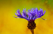 Cornflower Metal Prints - Cornflower Composing Metal Print by Lutz Baar