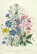 Wild-flower Drawings Posters - Cornflower Poster by Jane Loudon