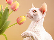 Verena Matthew - Cornish Rex Cat