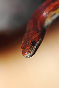 Reptile Photos - Cornsnake portrait by Christoph Caina