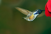 Nectar Posters - Costas Hummingbird Feeding Poster by Robert Bales
