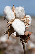 Mallow Photos - Cotton Bolls  by Hagai Nativ