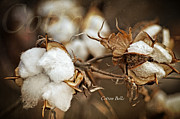 Lena Wilhite - Cotton Bolls