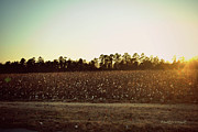 Landscape Prints - Cotton Field At Dusk Print by Paulette Wright