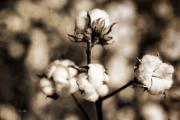Boll Photos - Cotton by Scott Pellegrin