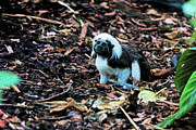 Cassandra Buckley - Cotton Top Tamarin