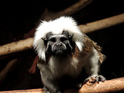 Mark Moore - Cotton Top Tamarin