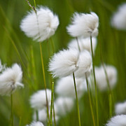 Koehrer Photos - Cottonsedge by Heiko Koehrer-Wagner