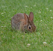 Sharon Miller - Cottontail And Clover...