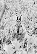 Danielle Smith Metal Prints - Cottontail Metal Print by Danielle Smith