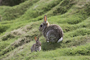 Iain S Byrne - Cottontails mother and...