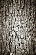 Tree Lines Posters - Cottonwood Bark 1 Poster by Marilyn Hunt