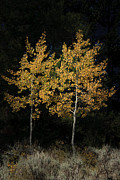 Roger Mullenhour - Cottonwood Trees in...