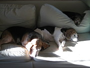 Beagle Prints Posters - Couch time Poster by Esther  Leising