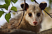Possum Photos - Coucou - close-up by Nikolyn McDonald
