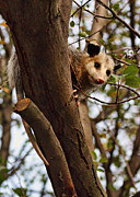 Possum Photos - Coucou by Nikolyn McDonald