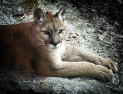 Wild Cats Framed Prints - Cougar Country Framed Print by Karen Wiles
