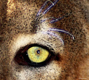 Cougars Prints - Cougar Eye Print by Sharon Cummings