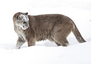 Cougar On A Winter Prowl Print by Inspired Nature Photography By Shelley Myke