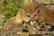 Cougar On Lichen Rock Print by Sandra Bronstein