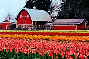 Tulip Town Posters - Country Colors Poster by Benjamin Yeager