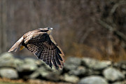 Redtail Hawk Prints - Country Flight Print by Bill  Wakeley