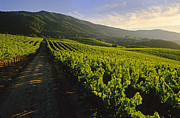 Grape Leaves Photos - Country Road Through Vineyards by Craig Lovell