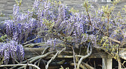 Wisteria Mixed Media Prints - Country Wisteria 2 Print by AdSpice Studios