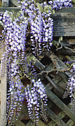 Wisteria Mixed Media Prints - Country Wisteria Print by AdSpice Studios